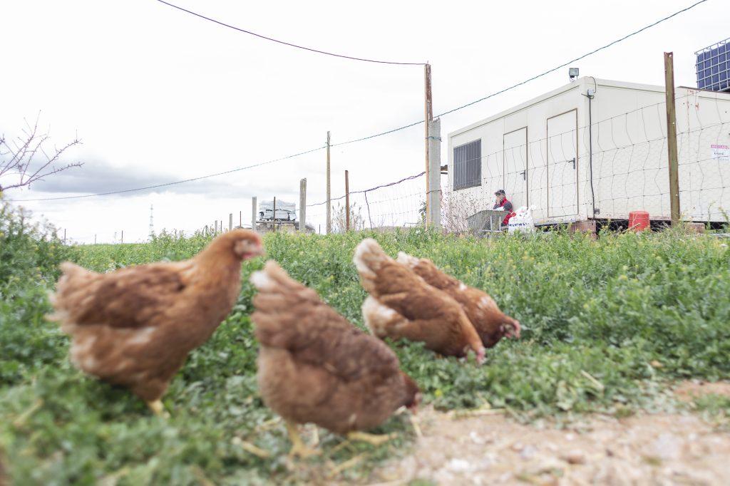 gallinas-ecologica